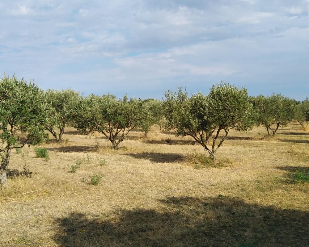 Van Gogh Olive Trees
